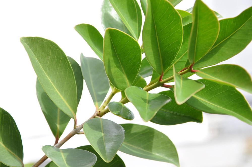ストロベリー・グアバの葉