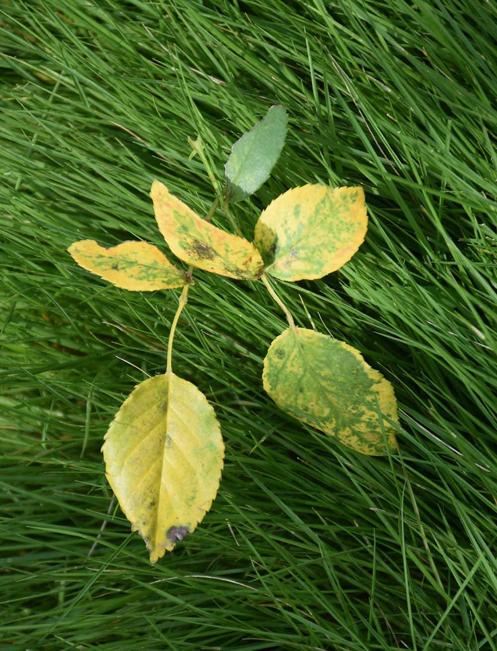 黄変したバラの葉