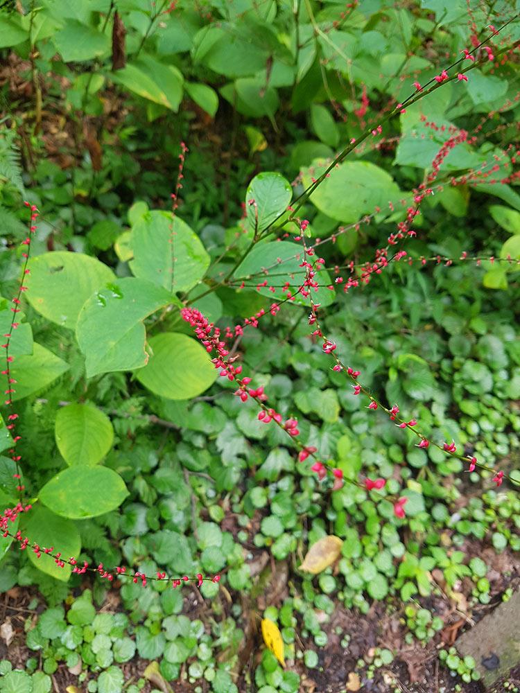 ミズヒキ(Persicaria filiformis )