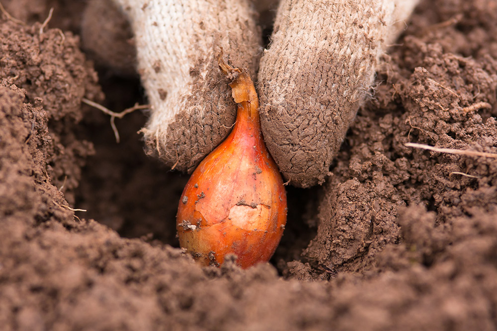 タマネギのセット栽培