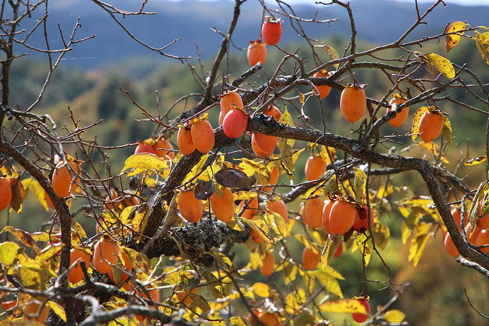 甘柿と渋柿