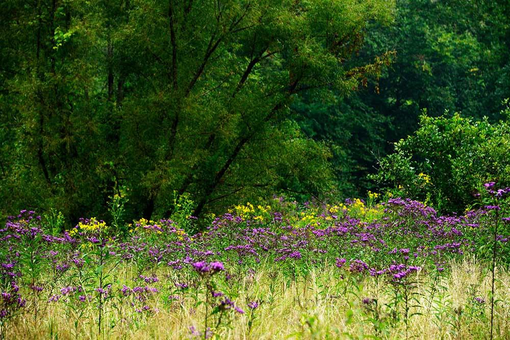 ベルノニアの原野群生風景