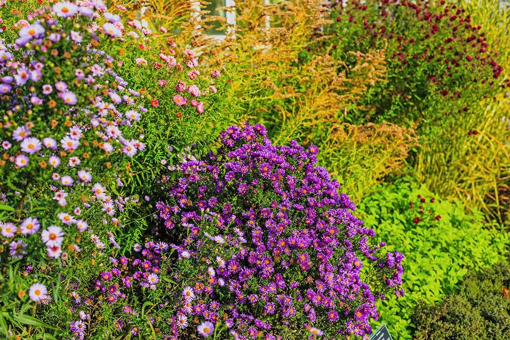 アスターやソリダゴなどが咲く秋の庭