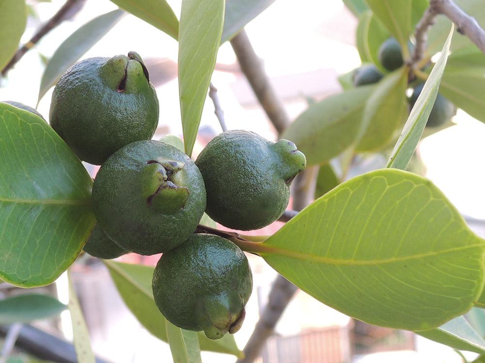 ストロベリー・グアバの青い実
