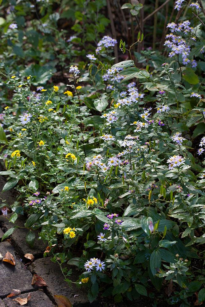 秋の庭の野菊