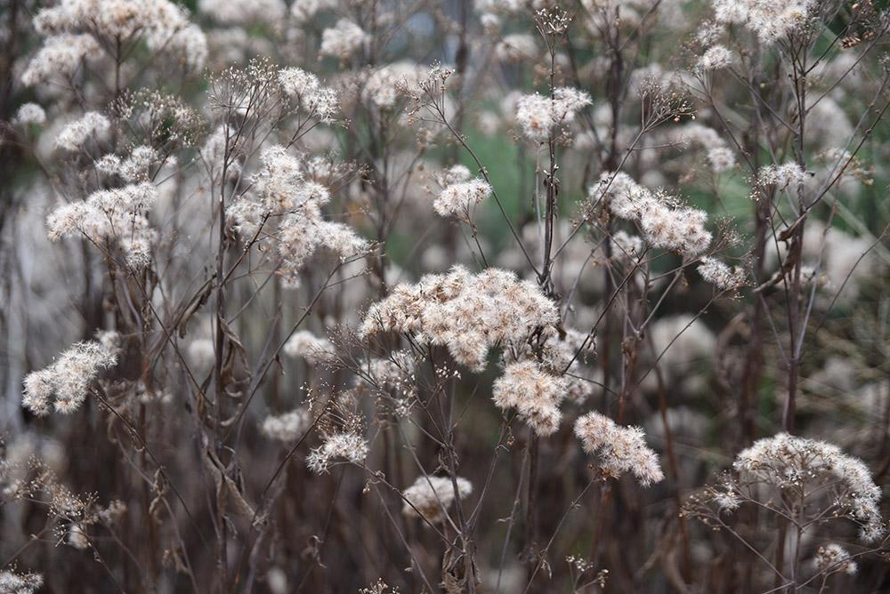 ユーパトリウムの花後のタネ姿