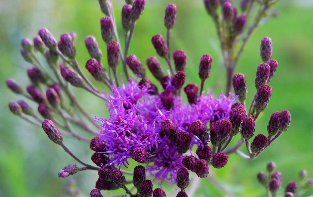 ベルノニア・クリニタの花