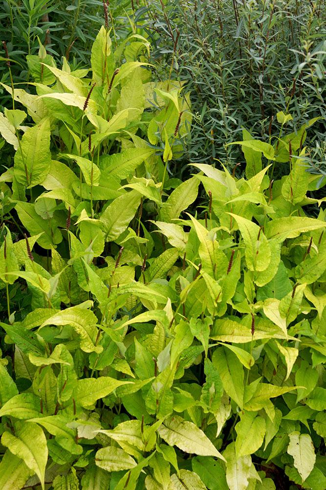 ペルシカリア'ゴールデンアロー'(Persicaria amplexicaulis 'Golden Arrow')