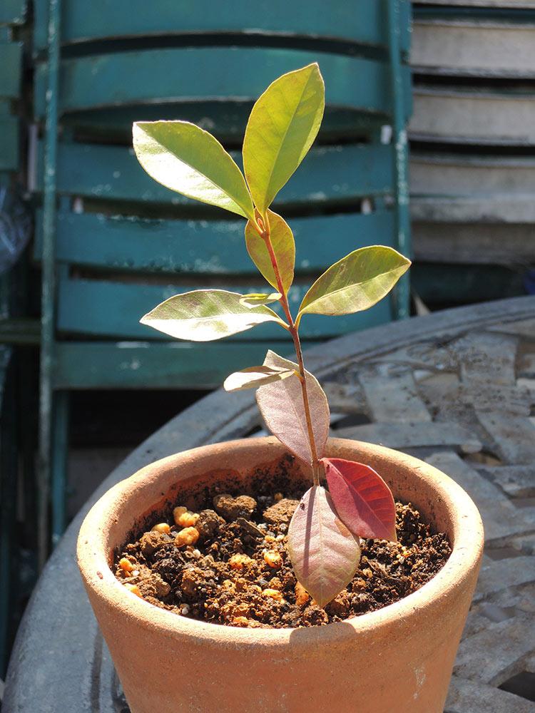 ストロベリー・グアバの苗