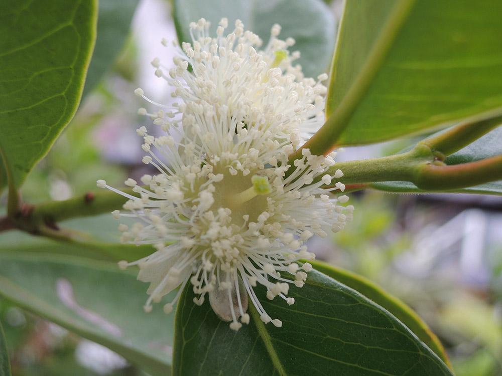 イエロー・ストロベリー・グアバの花