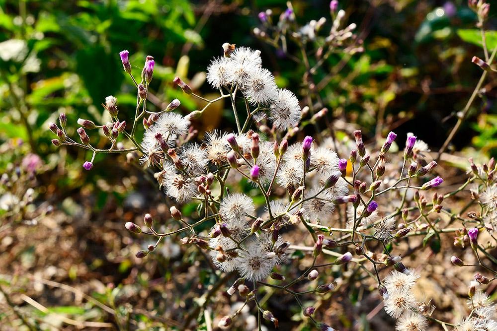 ベルノニアの花後の種