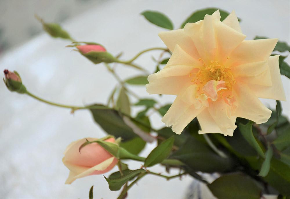 咲き始めの'サフラノ'