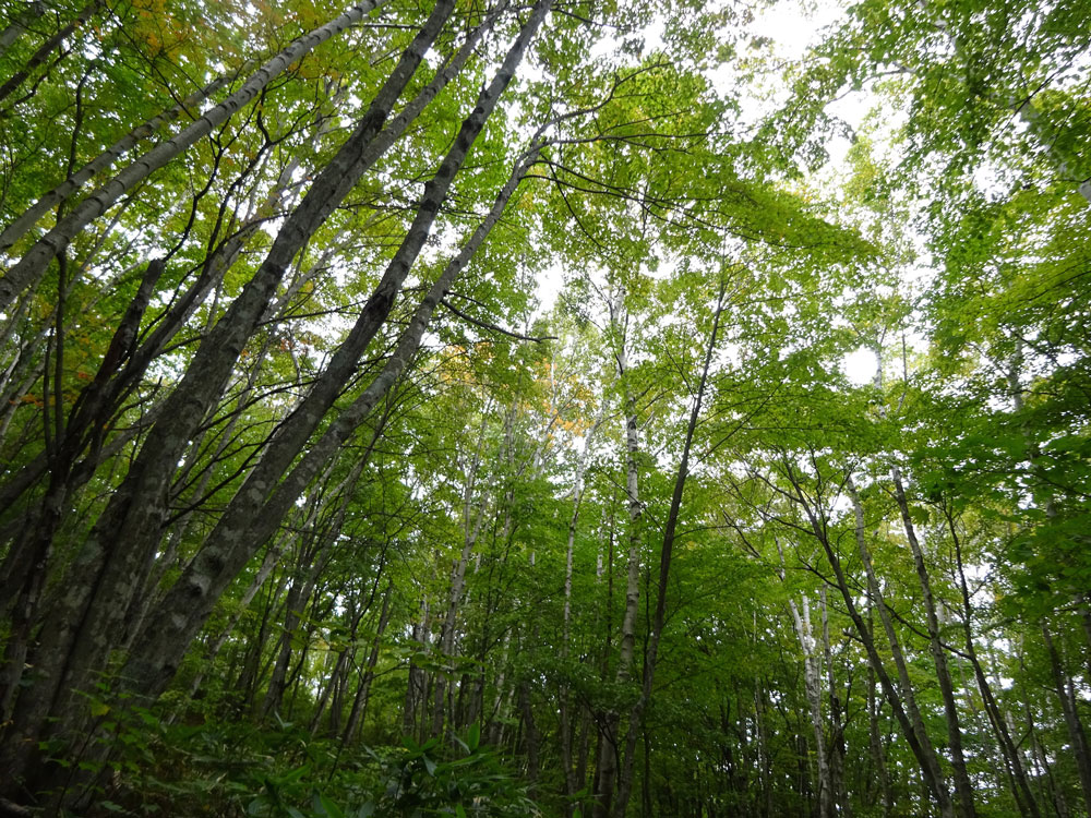 陽樹と陰樹の混交林