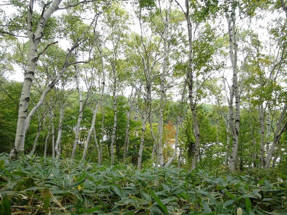 先駆種シラカンバの林