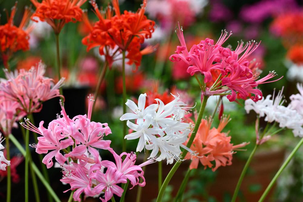 晩秋の陽に輝く、花の宝石「ダイヤモンドリリー」展。 加茂荘花鳥園にて開催中