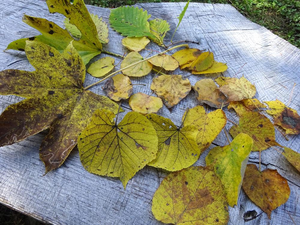 黄色い葉っぱ集合(ハリギリ、ミズナラ、カツラ、シラカンバ、イタヤカエデ、シナノキ、オオバボダイジュ)