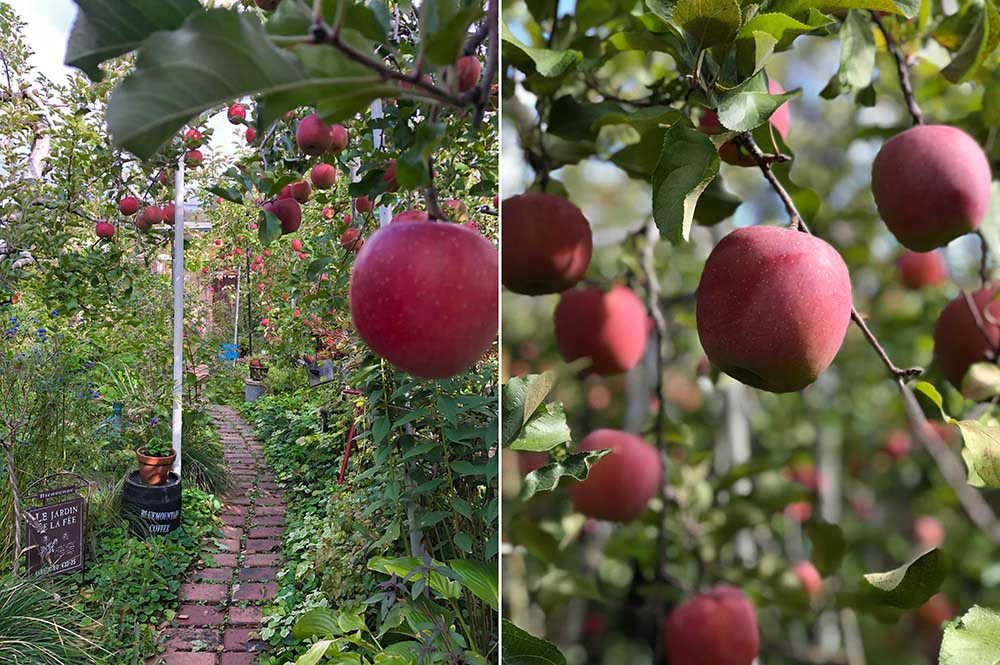 赤いリンゴの実