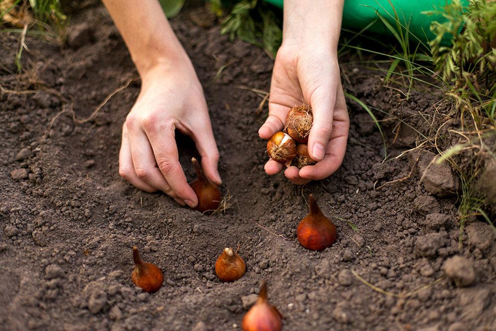 球根の植え付け