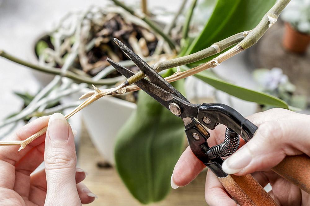 胡蝶蘭の花後の管理