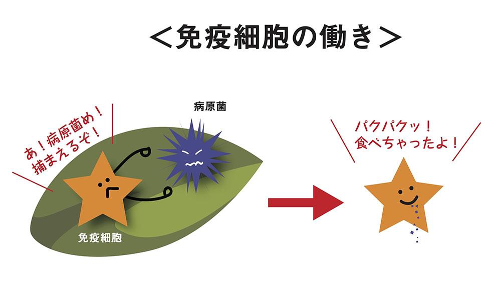 バラの免疫細胞