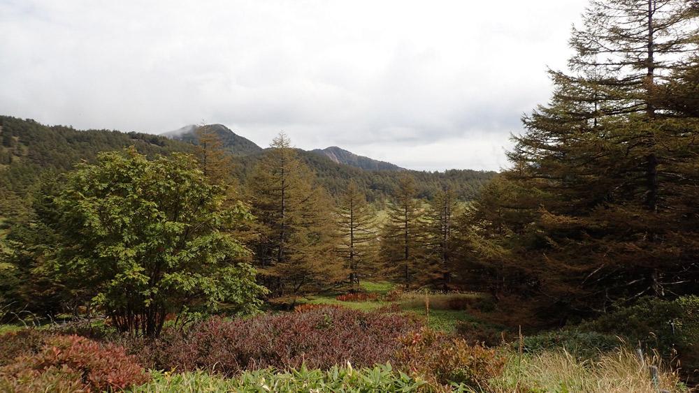 池の平湿原のカラマツ天然林