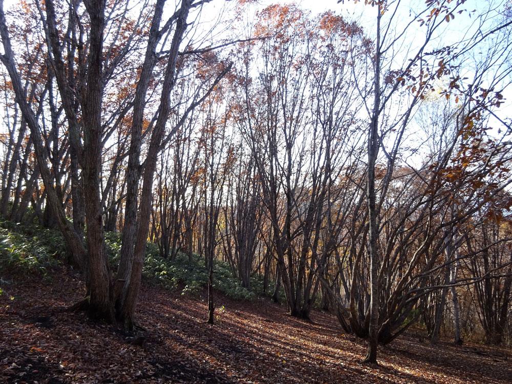 ミズナラの薪炭林