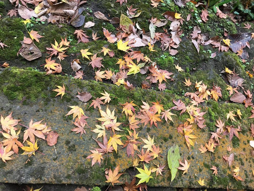 落ちても美しいかえでの紅葉
