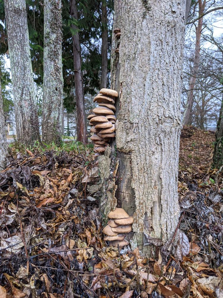 森の恵み ヒラタケ