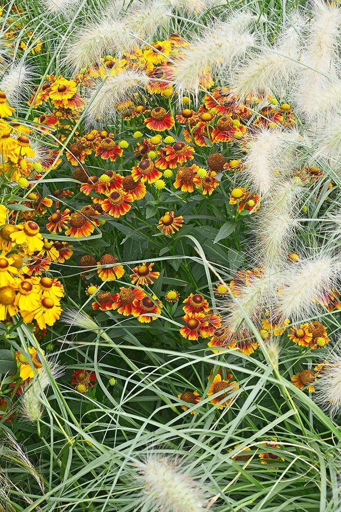 ペニセタム・ビロサムの植栽例
