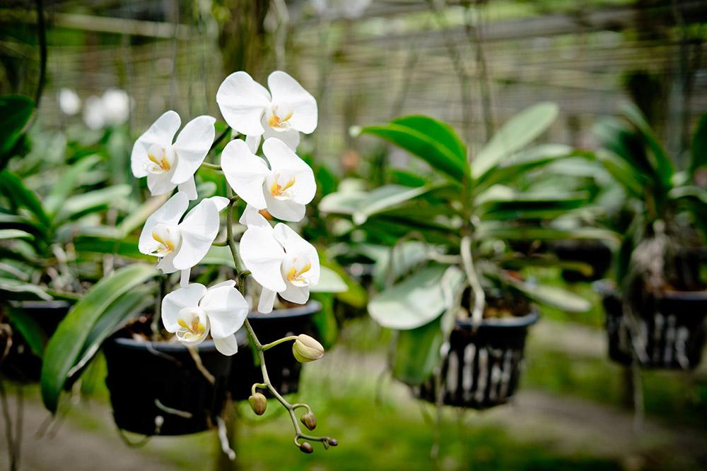 胡蝶蘭の春夏の管理