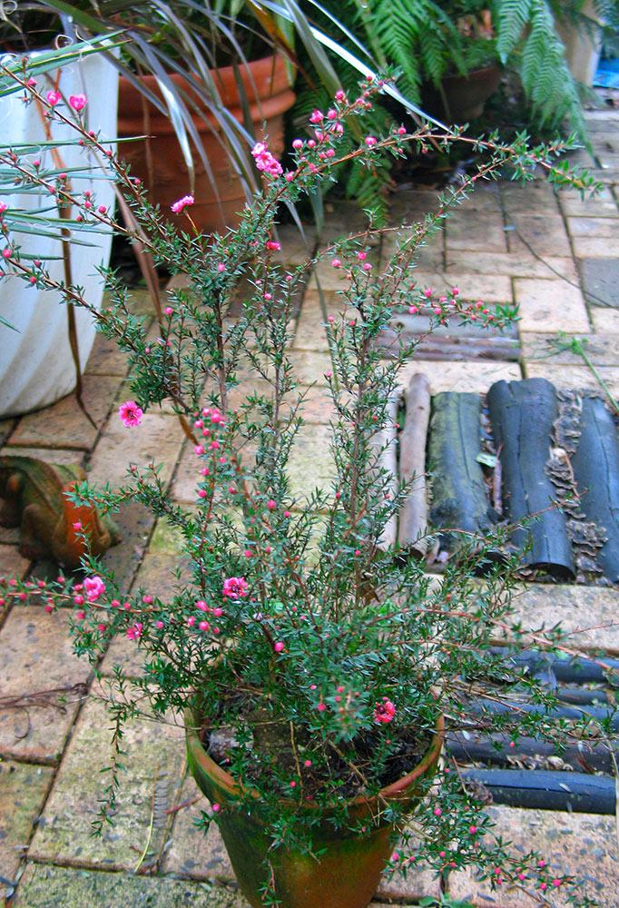 ギョリュウバイの鉢植え