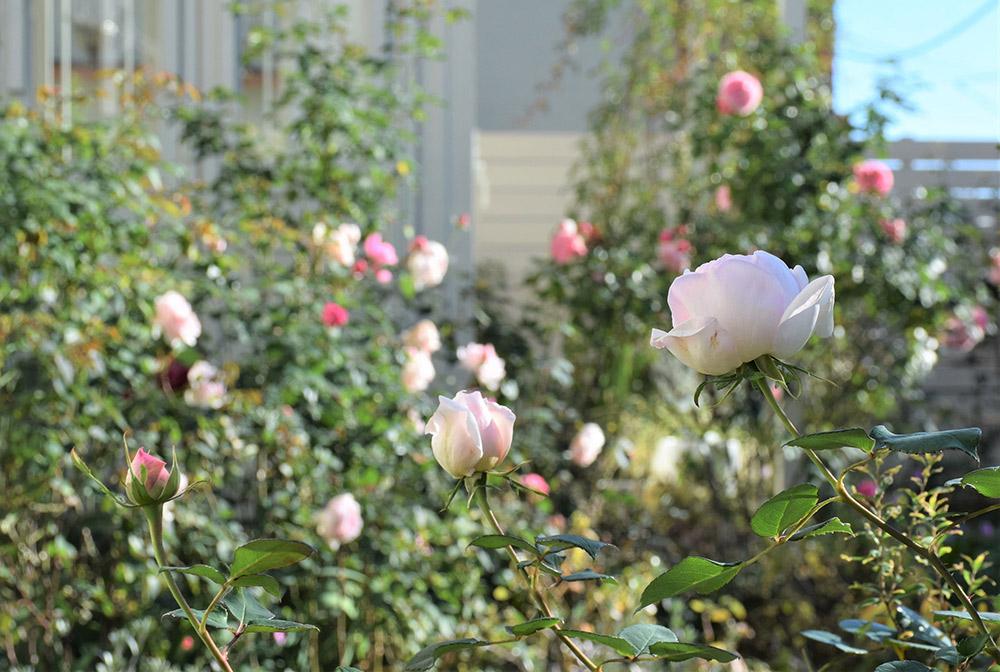 12月中旬のバラ
