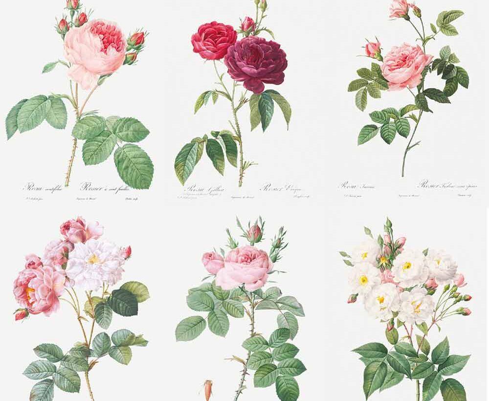 ルドゥーテのバラ