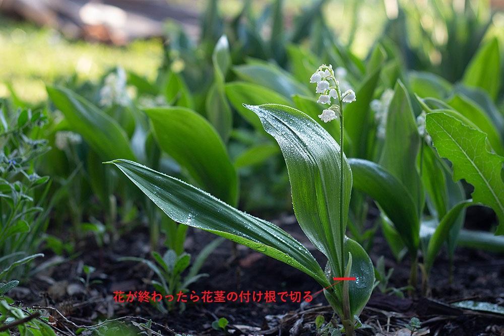 スズランの花殻