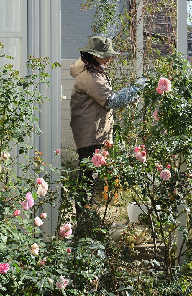 冬のバラ作業