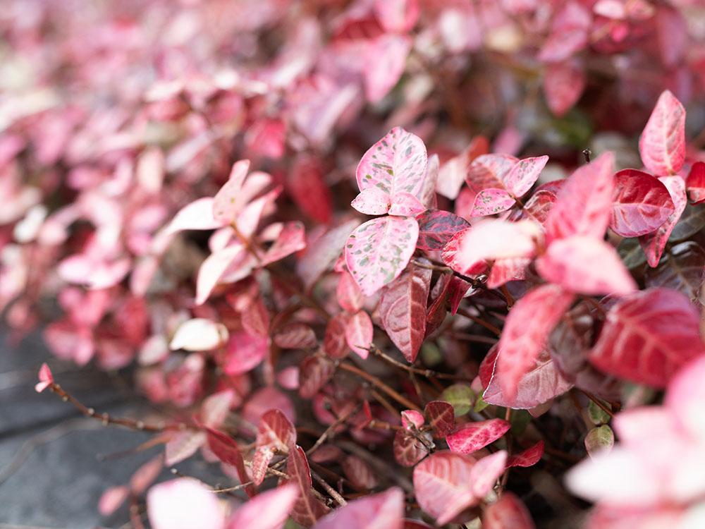 ハツユキカズラの葉