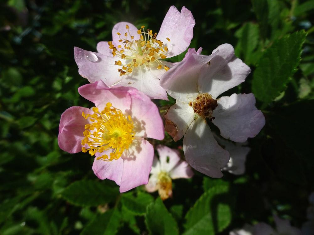 桃色のノイバラ