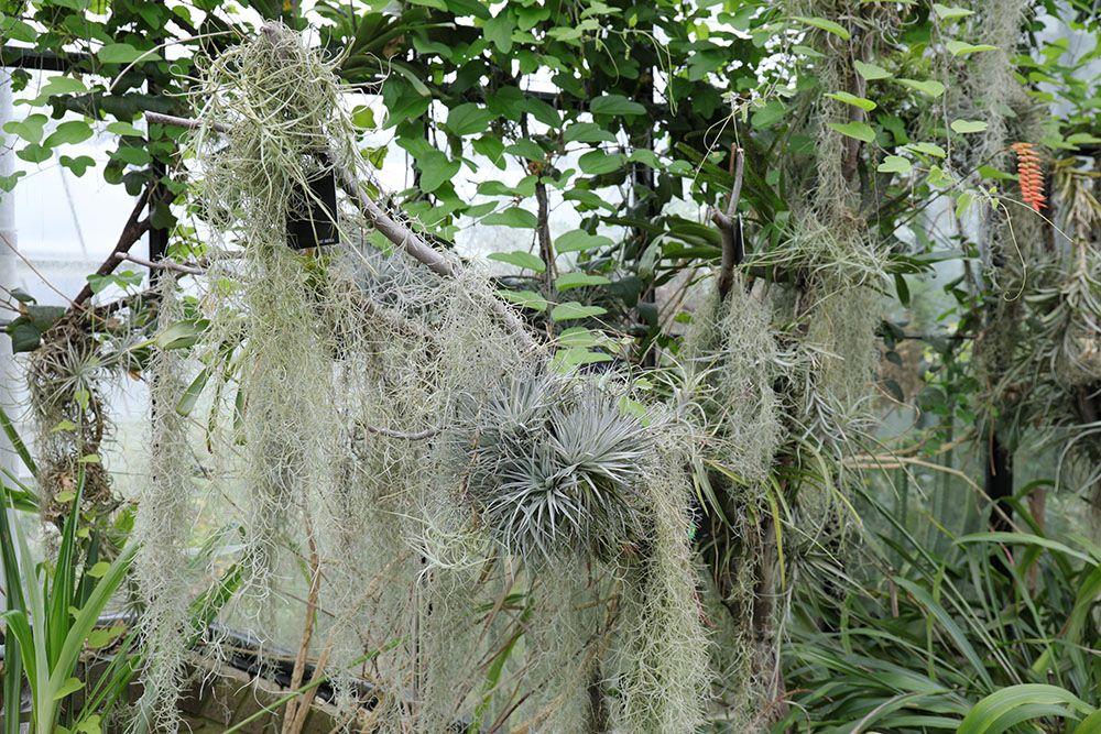 チランジア・ストリクタ(Tillandsia stricta)