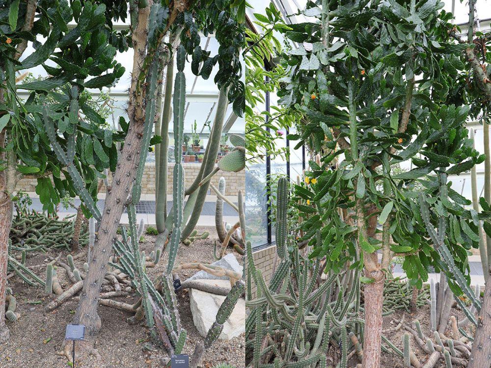 ペレスキア・グランディフォリア(Pereskia grandifolia)とオプンチア・ファルカータ (Opuntia falcata)