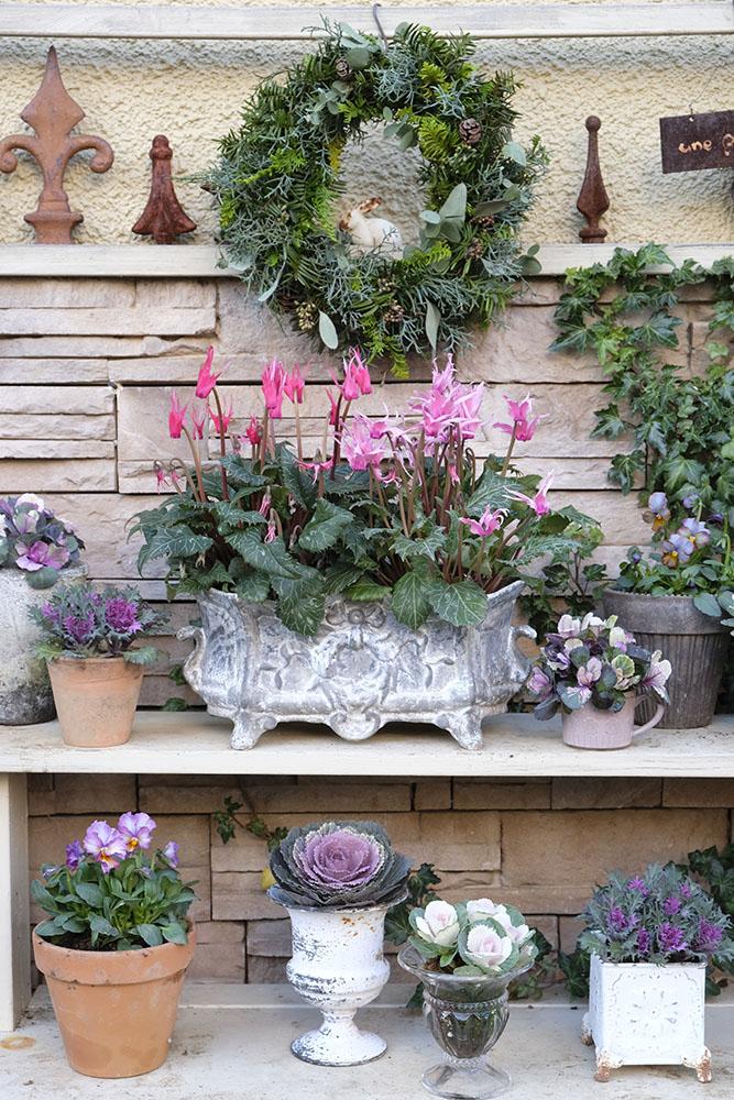 シクラメンなどの冬の花