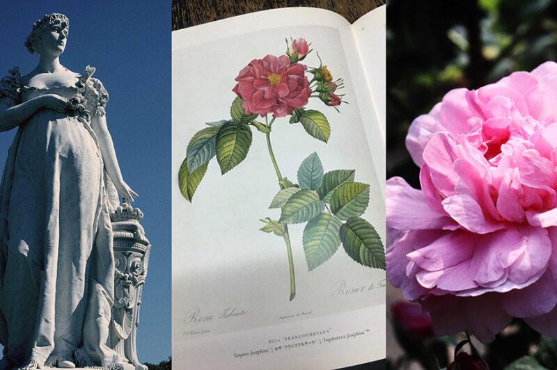 ジョゼフィーヌのバラ