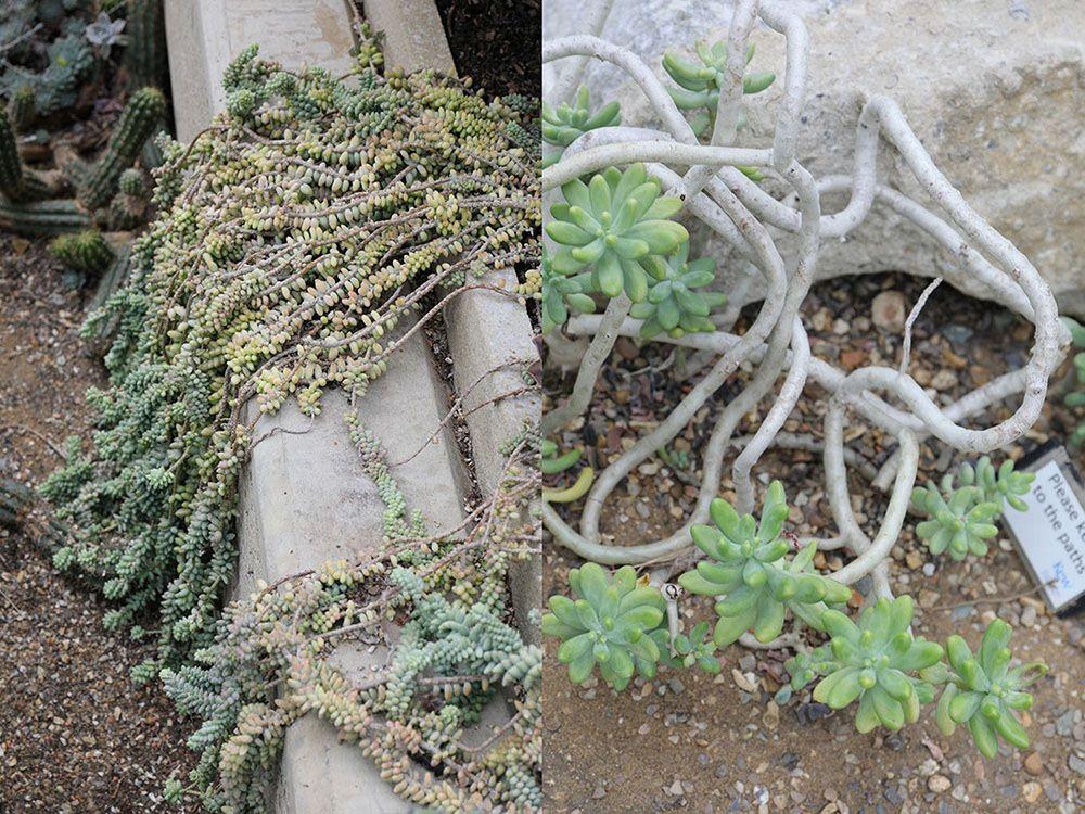 セダム 'ブリート' (Sedum 'Brrito')  とセダム・パキフィルム (Sedum pachyphyllum)