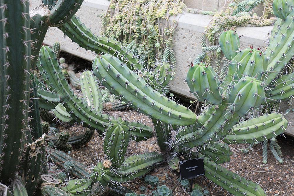 ミルチロカクツス・コカル(Myrtillocactus cochal)