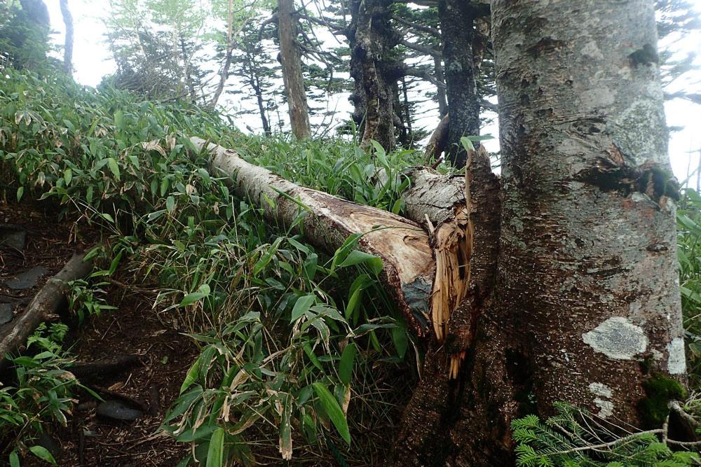 オオシラビソの樹皮
