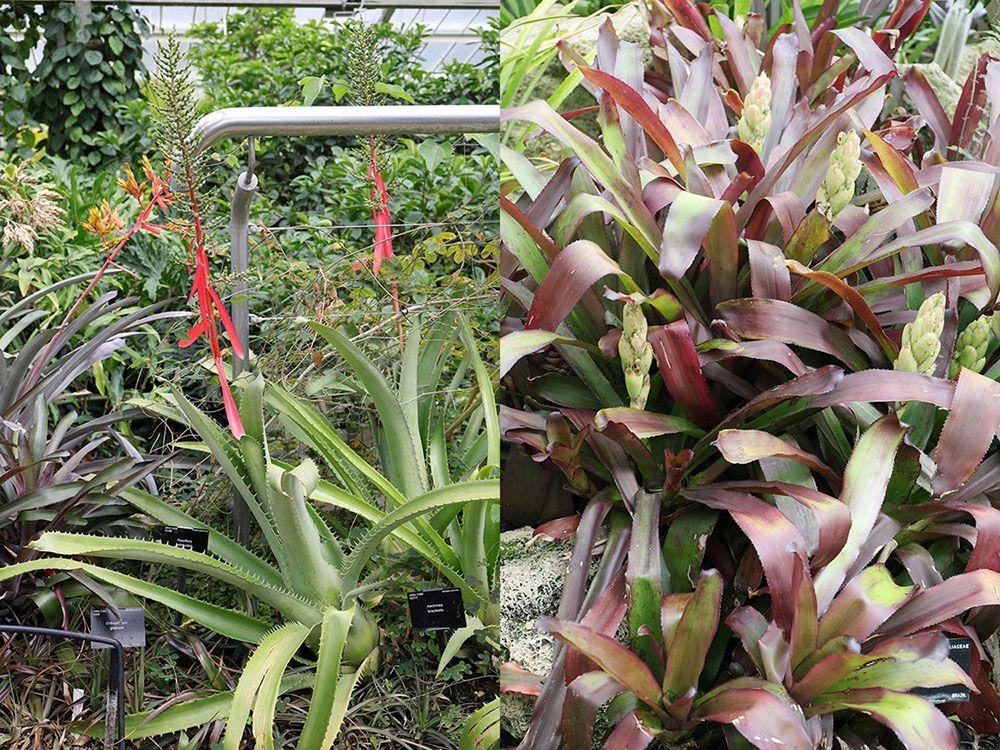 エクメア・ブラクテアタ (Aechmea bracteate)とクリプタンツス・アカウリス (Cryptanthus acaulis var. ruber)