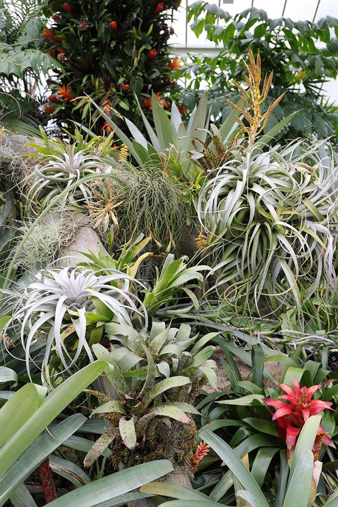 パイナップル科の植物