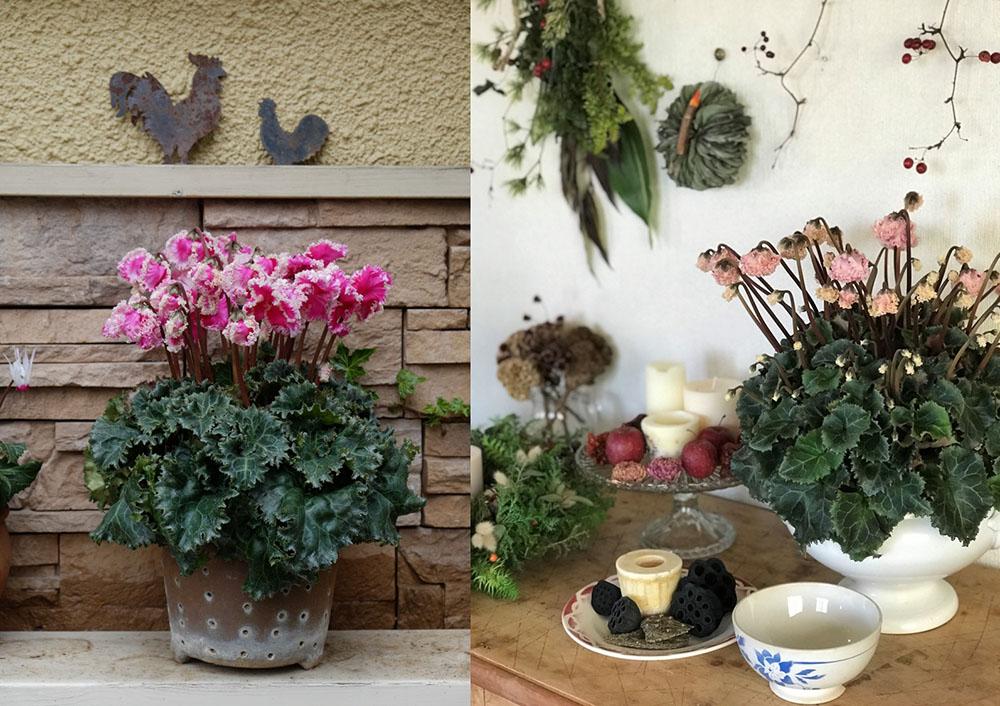 シクラメンの鉢植え