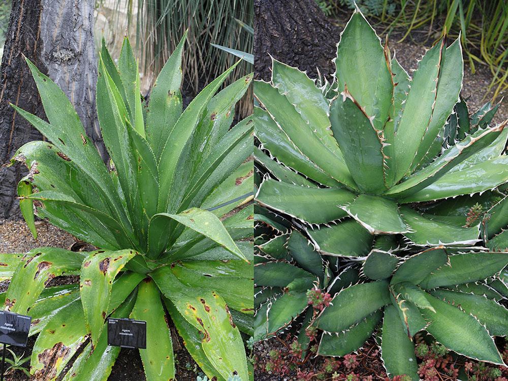 アガベ・ミシオヌム (Agave missionum) とアガベ・チタノタ (Agave titanota)
