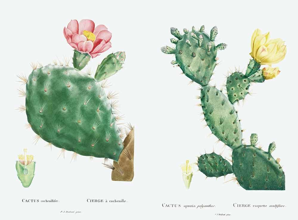 ルドゥーテが描いた多肉植物