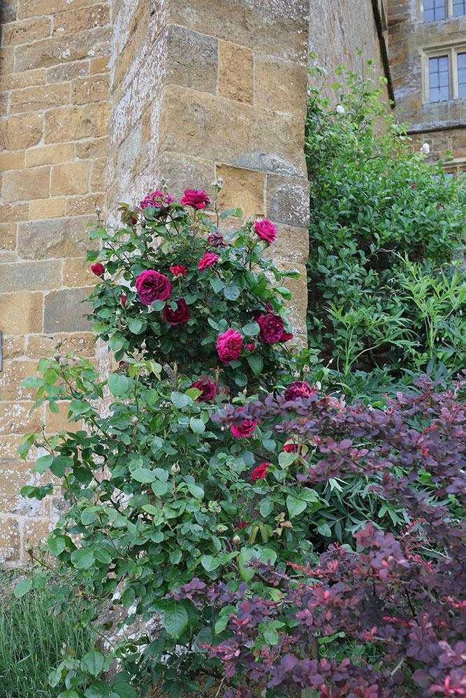 ブロートン城とバラ